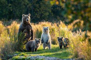 משפחת דובים חומים בפארק הלאומי קטאמי שבאלסקה. צילום: שאטרסטוק